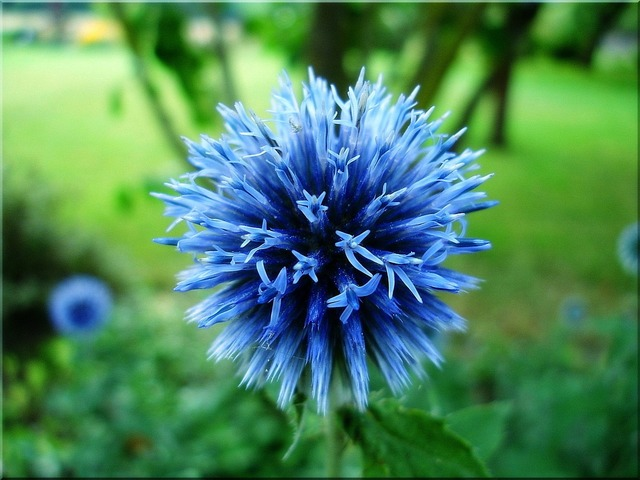 Globe thistle blue garden.
