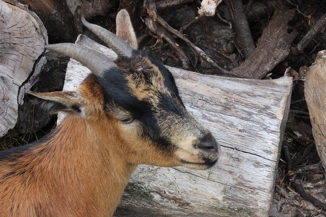 Goat billy goat animal, animals.