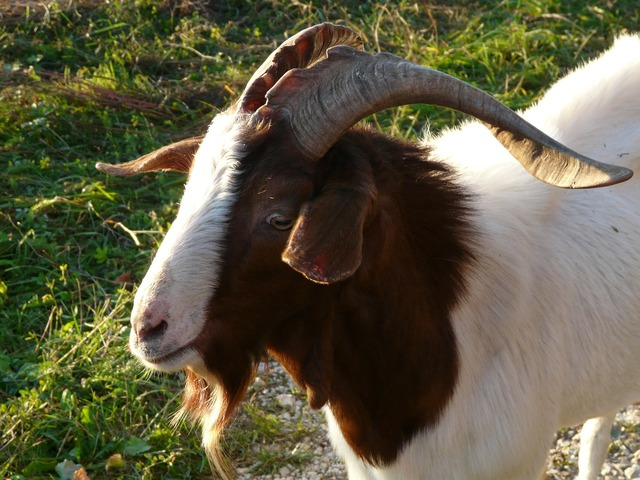 Goat billy goat horns, animals.