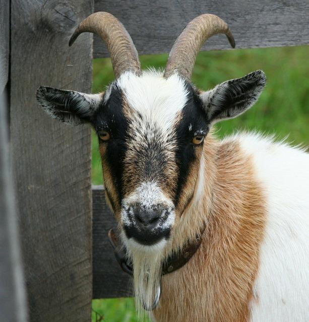 Goat boer bok horns, animals.