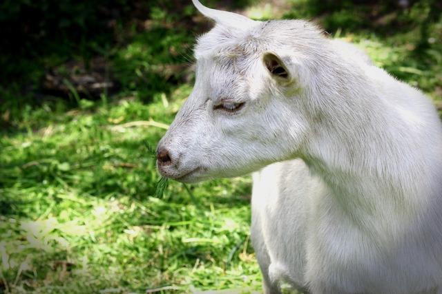 Goat livestock pet, animals.