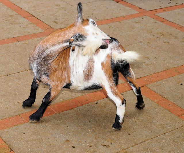 Goat pet cute, animals.