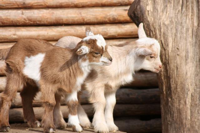 Goats babies wildlife park.