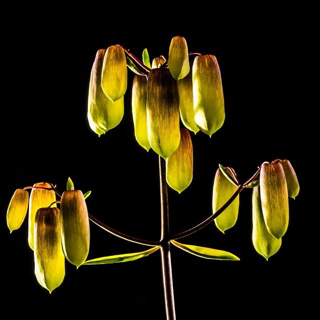 Goethe plant yellow blossom.