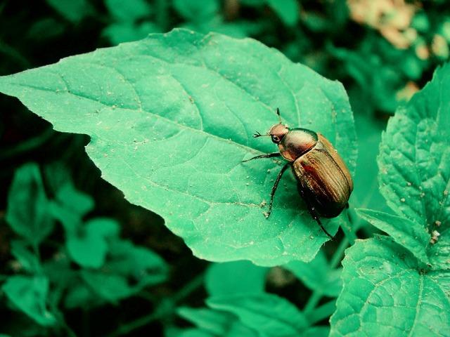 Golden beetle sheet.