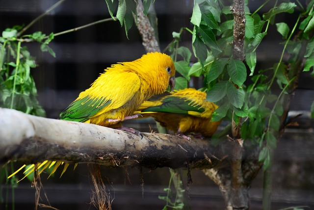 Golden conure parrots queen of bavaria conure.