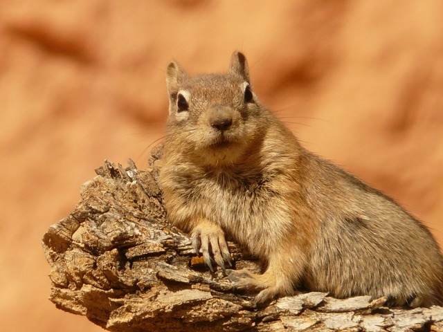 Golden mantled ground squirrel spermophilus lateralis croissant, animals.