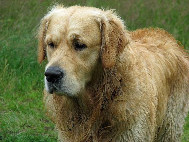 Golden retriever dog retriever, animals.