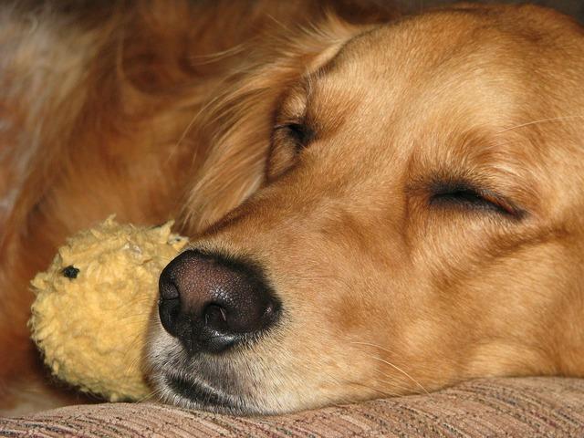 Golden retriever dog sleeping, animals.