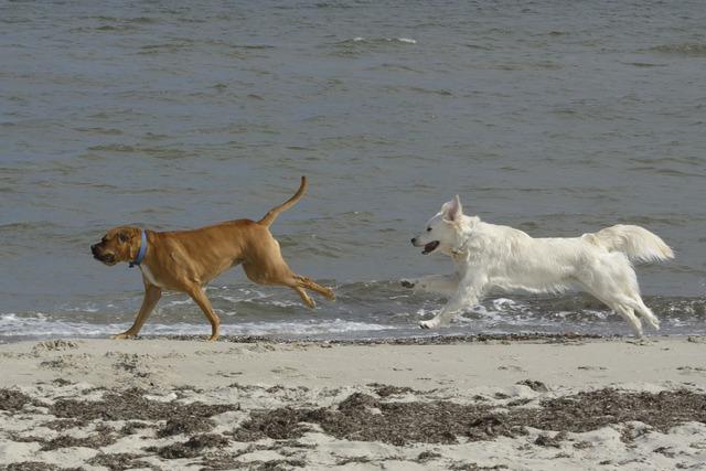Golden retriever dogs beach, travel vacation.