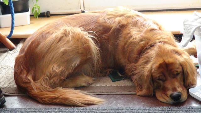 Golden retriever dogs purebred.