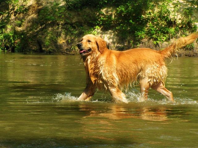 Golden retriever pet dog, animals.