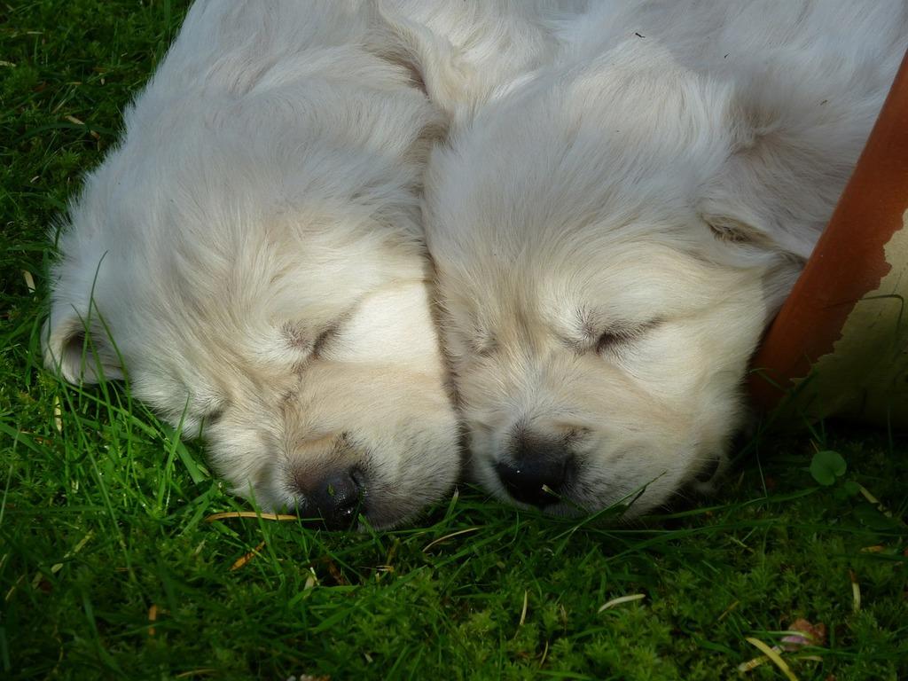 Golden retriever puppy dog, animals.