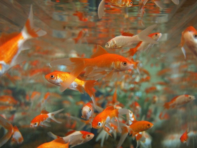 Goldfish aquarium underwater, animals.