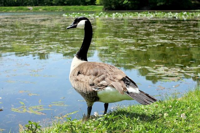 Goose canadian goose lake, animals.