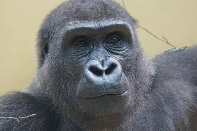 Gorilla ape imposing.