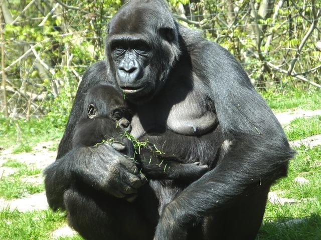 Gorilla ape monkey, animals.
