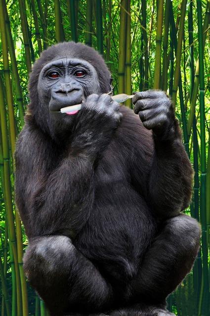 Gorilla ape primate, animals.
