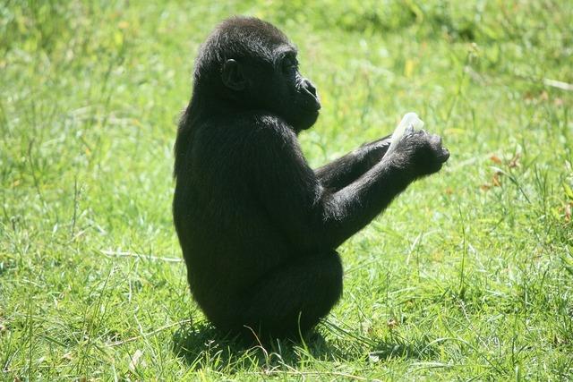 Gorilla baby gorilla ape, animals.