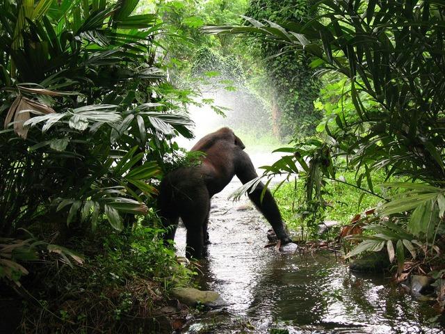 Gorilla jungle mist, animals.
