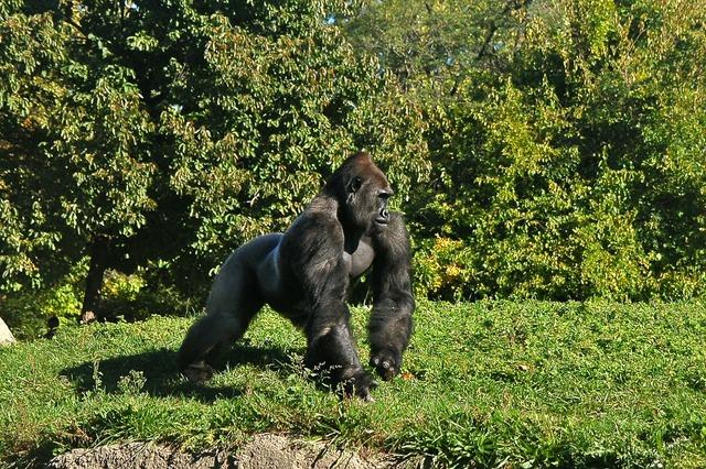 Gorilla primate ape, animals.