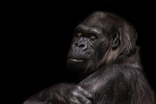 Gorilla silverback monkey, animals.