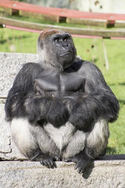 Gorilla silverback wild, animals.