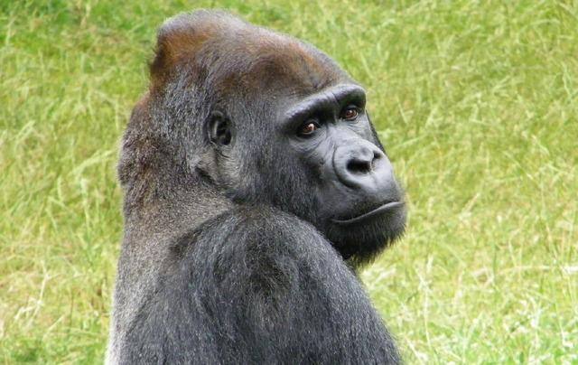 Gorilla sitting resting, animals.