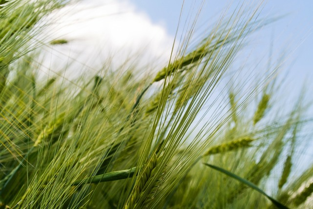 Grain field green, animals.