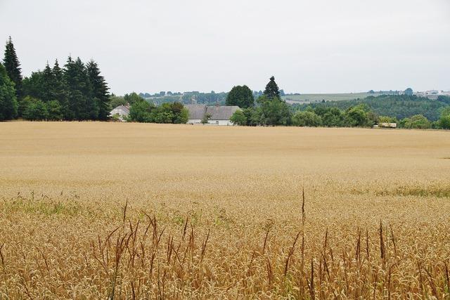 Grain field wheat.