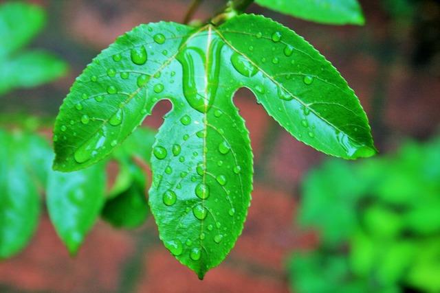 Granadilla leaf leaf green wet.