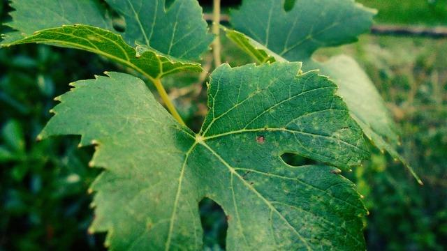 Grape foliage green.