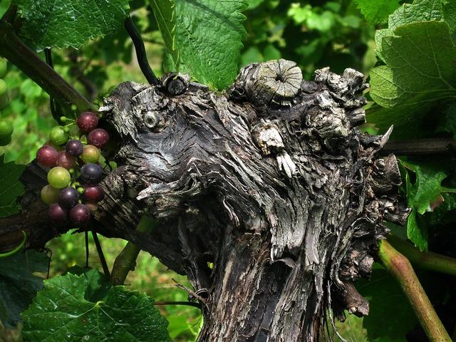 Grape grapevine wine.