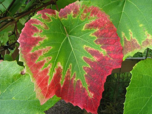 Grape leaves colors autumn.