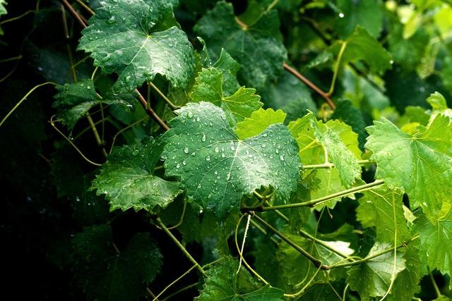 Grape leaves leaves vine.
