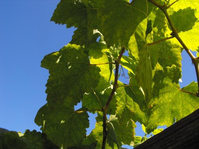 Grape leaves vine, nature landscapes.