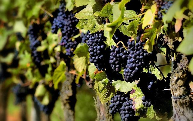 Grape planting purple, food drink.