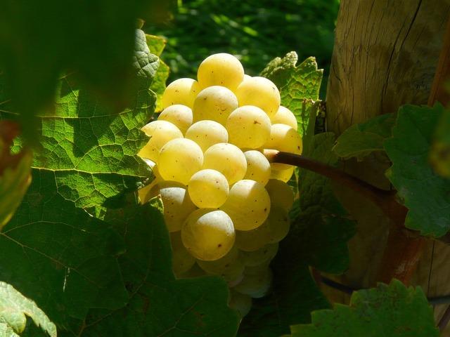 Grape rebstock vine.