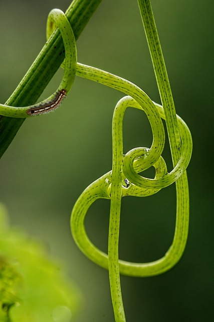 Grape vine tendril climbing plant, nature landscapes.