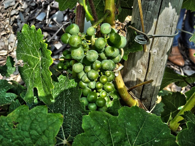 Grape wine plant, nature landscapes.