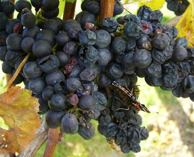 Grapes blue grapes autumn.