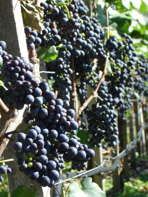 Grapes plant wine, nature landscapes.