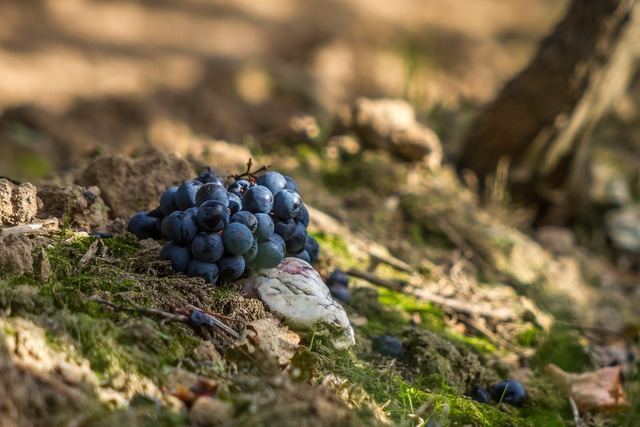 Grapes red blue, nature landscapes.