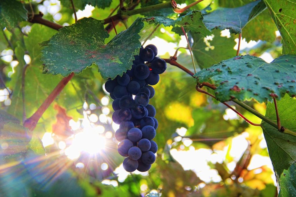 Grapes sun sonnengereift.