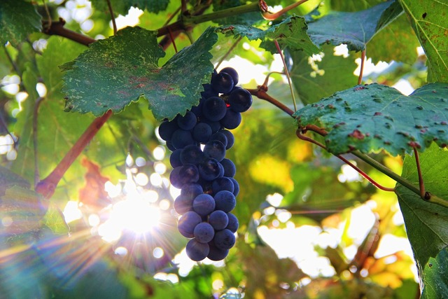 Grapes sun sonnengereift.
