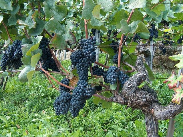Grapes vine vines stock.