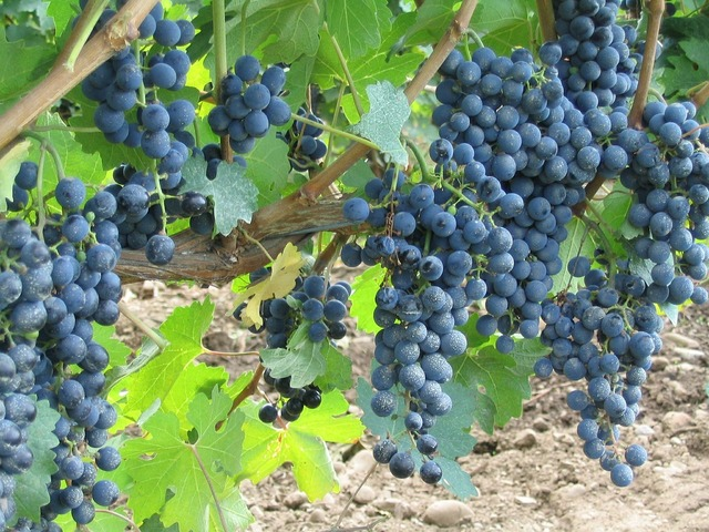 Grapes vine vineyard.
