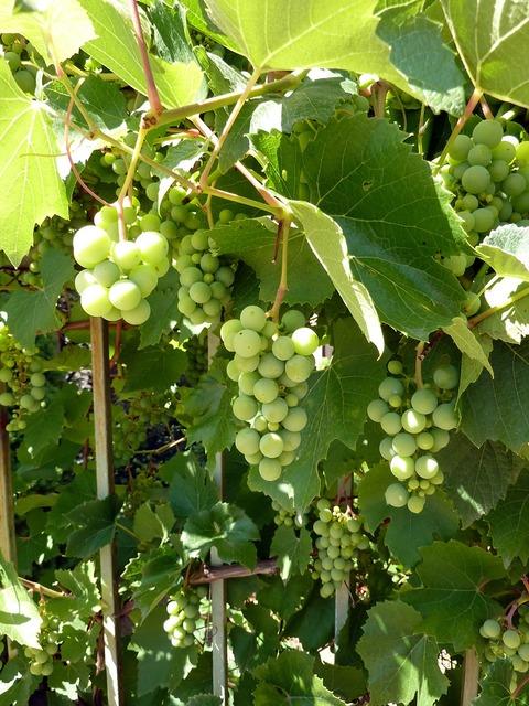 Grapes vines grapevine.