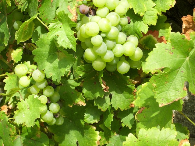 Grapes vines nature, nature landscapes.