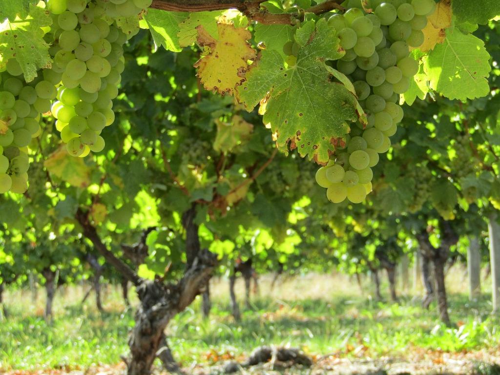 Grapes vineyard new zealand.